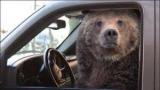 У США ведмідь викрав і розбив позашляховик